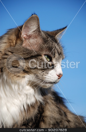 Silver tabby cat stock photo, Portrait of a silver tabby cat against a blue sky background. by newsfocus1