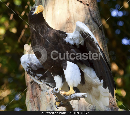 Stellar's Sea Eagle Haliaeetus Pelagicus Spreading Wings stock photo, Stellar's Sea Eagle Haliaeetus Pelagicus Spreading Wings Black White Feathers Russian Counterpart to North American Bald Eagle  by William Perry