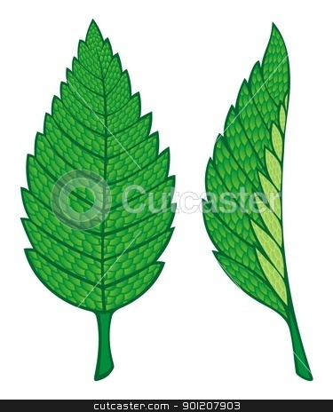 Mint leaves stock vector clipart, Two green mint leaves illustration isolated on white background. by fractal.gr