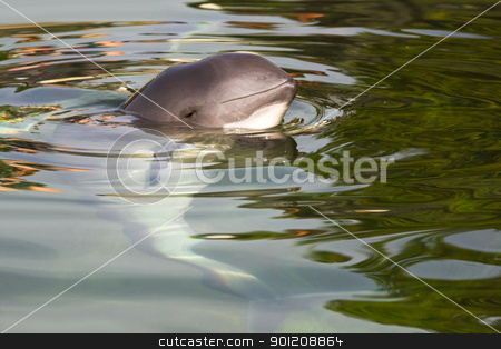 Harbour porpoise or Phocoena phocoena stock photo, Relaxed Harbour porpoise or Phocoena phocoena in summer sunshine and clear water - horizontal image by Colette Planken-Kooij