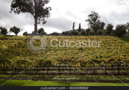 Hillside Grape Vines stock photo, A bunch of grape vines on the side of a hill by Kevin Tietz