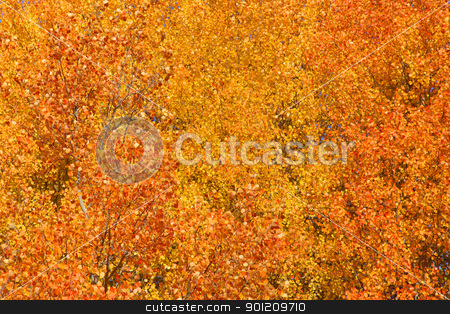 Fall background stock photo, Aspen birch yellow tree at it peak fall color by Sreedhar Yedlapati