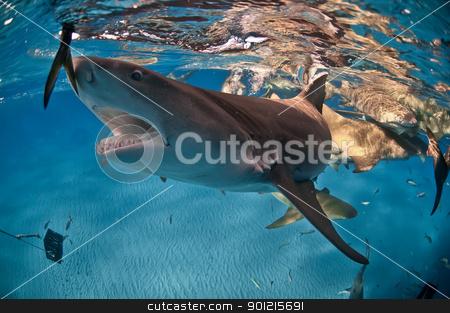 Hungry shark stock photo, A lemon shark reaching for food, Bahamas by Fiona Ayerst Underwater Photography