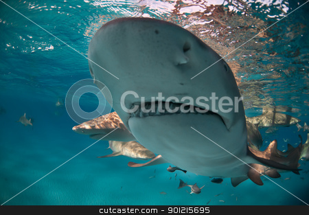 Shark visit stock photo, Close up on a lemon shark in shallow water, Bahamas by Fiona Ayerst Underwater Photography