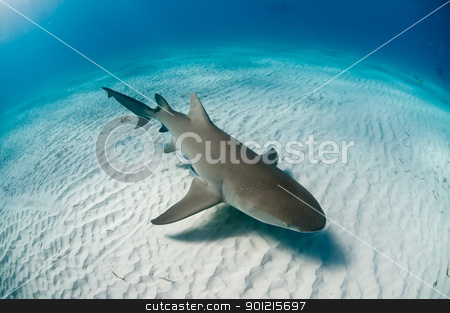 Topview of a lemon shark stock photo, The topview of a lemon shark swimming along the sea bed, Bahamas by Fiona Ayerst Underwater Photography