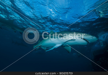 Inquisitive shark stock photo, A close up on a lemon shark swimming near a boat, Bahamas by Fiona Ayerst Underwater Photography