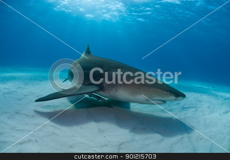 Groundwork stock photo, A close up on a lemon shark swimming along the sea bed, Bahamas by Fiona Ayerst Underwater Photography