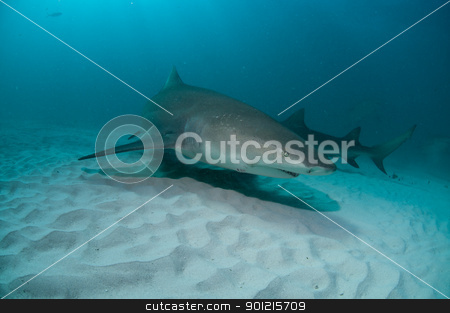 Down under stock photo, The view of lemon sharks swimming along the sea bed, Bahamas by Fiona Ayerst Underwater Photography
