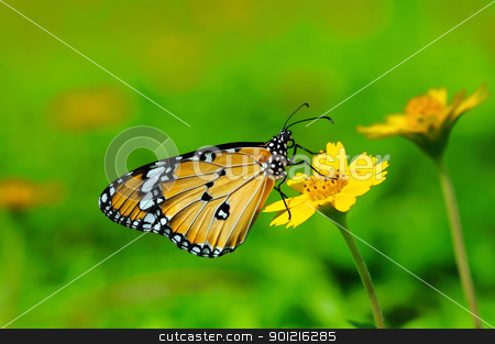 plain tiger stock photo, plain tiger buttefly by Arvind Balaraman