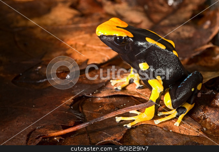 poison dart frog stock photo, poison frog of amazon rain forest poisonous animal with beuatiful bright yellow black color lives in Brazil Guyana and Suriname by Dirk Ercken