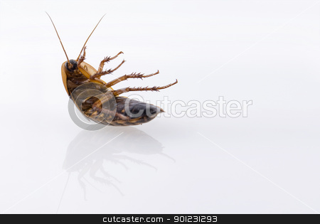 Ugly bug isolated over white stock photo, Close up of cockroach isolated over white by Cienpies Design