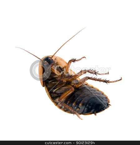 Dead cockroach isolated over white stock photo, Close up of cockroach isolated over white by Cienpies Design
