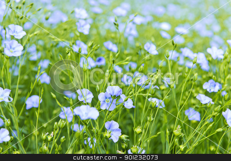 Blooming flax stock photo, Background of blooming blue flax in a farm field by Elena Elisseeva
