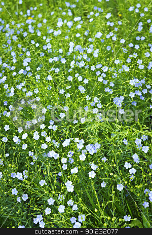 Blooming flax background stock photo, Background of blooming blue flax in a farm field by Elena Elisseeva