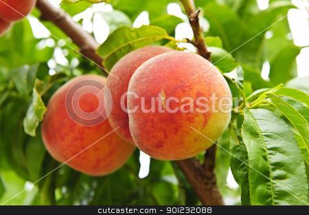 Peaches on tree stock photo, Ripe peaches ready to pick on tree branches by Elena Elisseeva