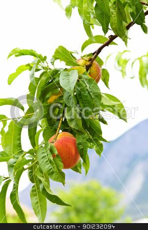 Peaches on tree stock photo, Ripe peaches ready to pick on tree branch by Elena Elisseeva