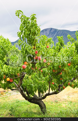 Peaches on tree stock photo, Peach tree with ripe fruit in Okanagan valley, British Columbia Canada by Elena Elisseeva