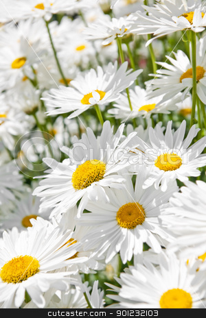 Daisies in garden stock photo, Close up of white daisy flowers blooming in garden by Elena Elisseeva