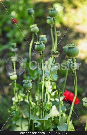 Poppy plants in garden stock photo, Tall green poppy pods and stems growing in garden by Elena Elisseeva