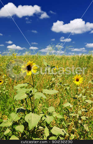 Sunflowers in prairie stock photo, Sunflower plants growing in prairie field in Saskatchewan Canada by Elena Elisseeva