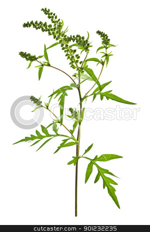 Ragweed plant stock photo, Ragweed plant in allergy season isolated on white background, common allergen by Elena Elisseeva