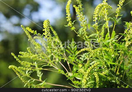 Ragweed plant stock photo, Flowering ragweed plant growing outside, a common allergen by Elena Elisseeva