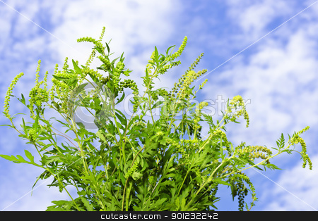 Ragweed plant stock photo, Flowering ragweed plant in closeup against blue sky, a common allergen by Elena Elisseeva