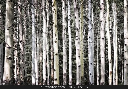 Aspen tree trunks stock photo, Aspen tree trunks in forest as natural background by Elena Elisseeva