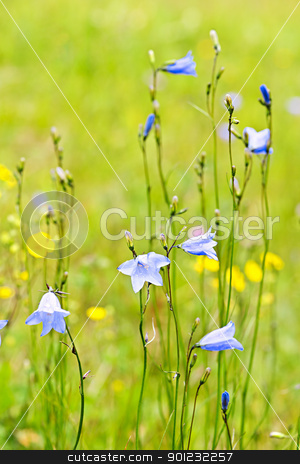 Blue harebells wildflowers stock photo, Blue harebell wild flowers growing in a field by Elena Elisseeva