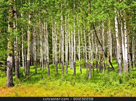 Aspen trees in Banff National park stock photo, Forest of tall white aspen trees in Banff National park, Canada by Elena Elisseeva