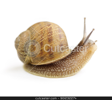 Curious snail stock photo, Garden snail looking around isolated on white background by Elena Elisseeva