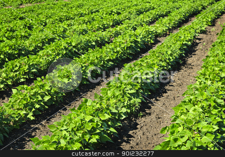 Rows of soy plants in a field stock photo, Rows of soy plants in a cultivated farmers field by Elena Elisseeva