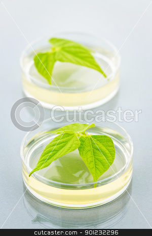 GM plants in petri dishes stock photo, Genetically modified plants tested in petri dishes by Elena Elisseeva