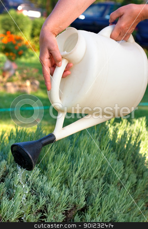 Watering stock photo, Female hands holding watering can and watering lavender in the garden.Shallow DOF by borojoint