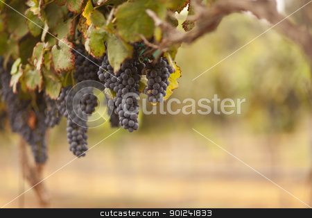 Beautiful Lush Grape Vineyard in The Morning Sun and Mist stock photo, Beautiful Lush Grape Vineyard In The Morning Mist and Sun. by Andy Dean
