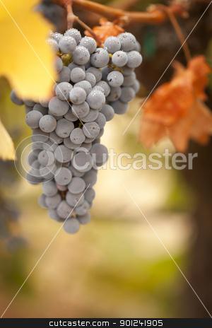 Beautiful Lush Grape Vineyard in The Morning Sun and Mist stock photo, Beautiful Lush Grape Vineyard In The Morning Mist and Sun. by Andy Dean