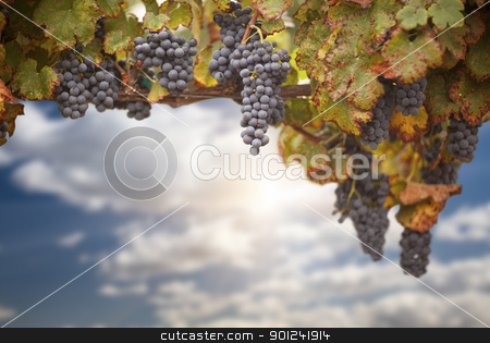 Beautiful Lush Grape Vineyard stock photo, Beautiful Lush Grape Vine In The Morning Sun with Room for Your Own Text. by Andy Dean