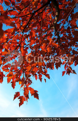Autumn leaves stock photo, Branch with red leaves on a background sky by Imaster