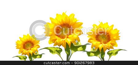 Sunflowers stock photo, Sunflowers by Lasse Kristensen@gmail.com