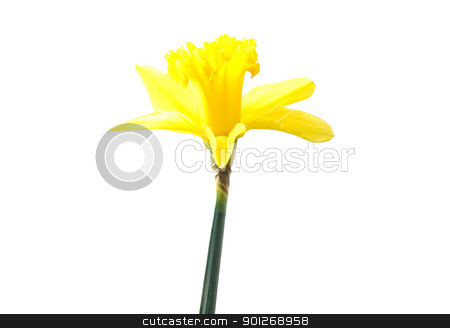 Daffodil stock photo, Daffodil by Lasse Kristensen@gmail.com