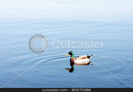 Duck stock photo, A duck swimming in water by Lasse Kristensen@gmail.com