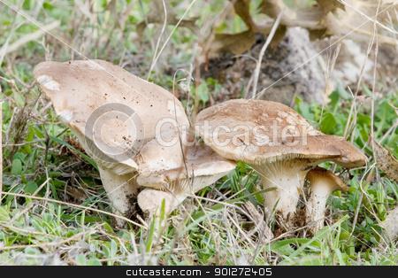 seasonal mushrooms stock photo, seasonal mushrooms in their natural habitat  by luiscar