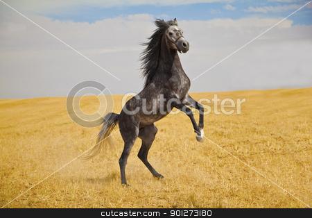 Arabian Horse stock photo, Pure arabian stallion standing wild on a golden field by Zaid Saadallah