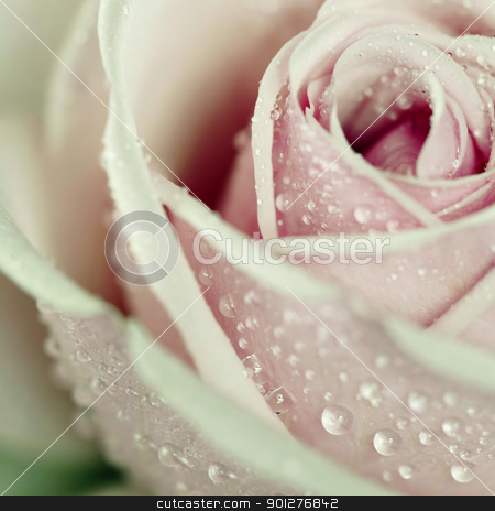 rose stock photo, Close-up view of beatiful pink rose with water drops. Square shot.  by klenova