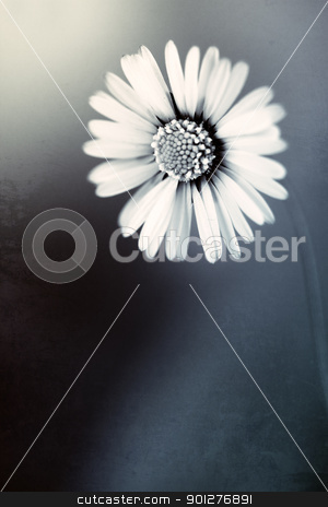 daisy stock photo, close up of white daisy on artistic background with soft focus in blue tone by klenova