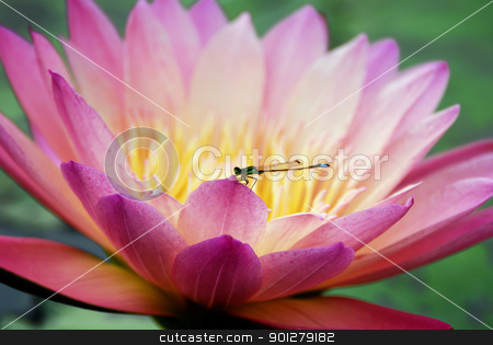 Water lily closeup with dragonfly stock photo, Water lily closeup with dragonfly in lovely pink color  by rabbit75_cut