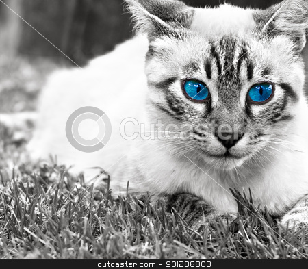 Blue eyed cat stock photo, Black and white portrait of very cute cat with blue eyes  by borojoint