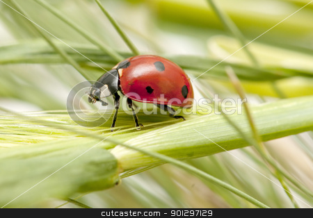 ladybug stock photo, ladybug lands on the field during the spring  by luiscar