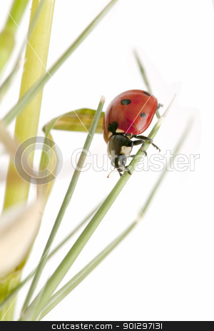 ladybug stock photo, ladybug on white background by luiscar
