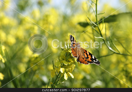 Painted Lady Butterfly stock photo, Painted lady butterfly in a field of wild mustard by Tyler Olson